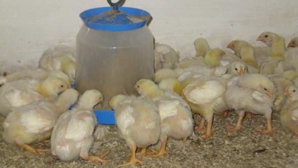 Подросшие цыплята кушают из кормушки