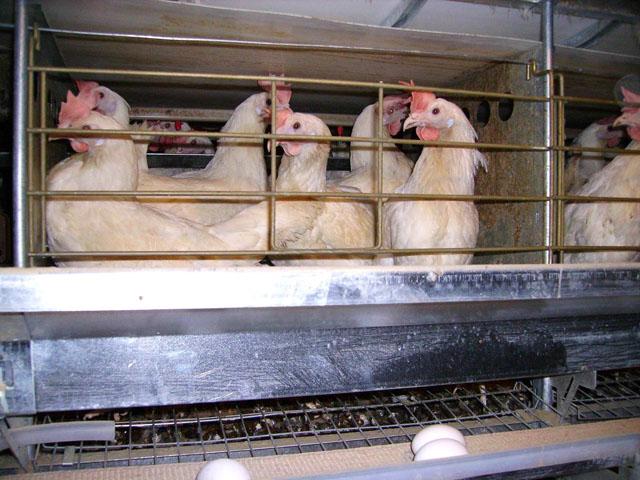 Куры в специальной клетке для несушек