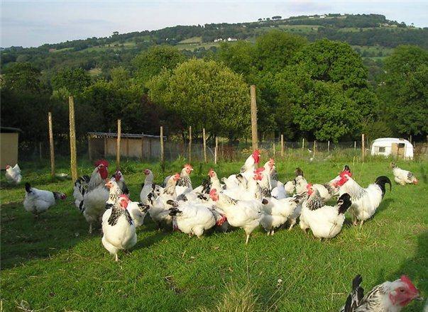 Куры Суссекс гуляют в поле