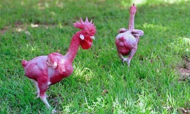 Облысевшая курица