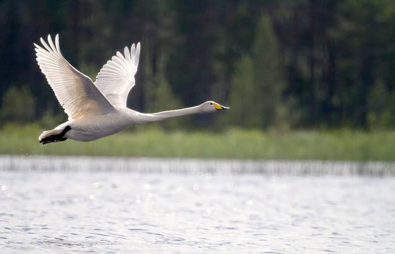 Лебедь в полете над озером