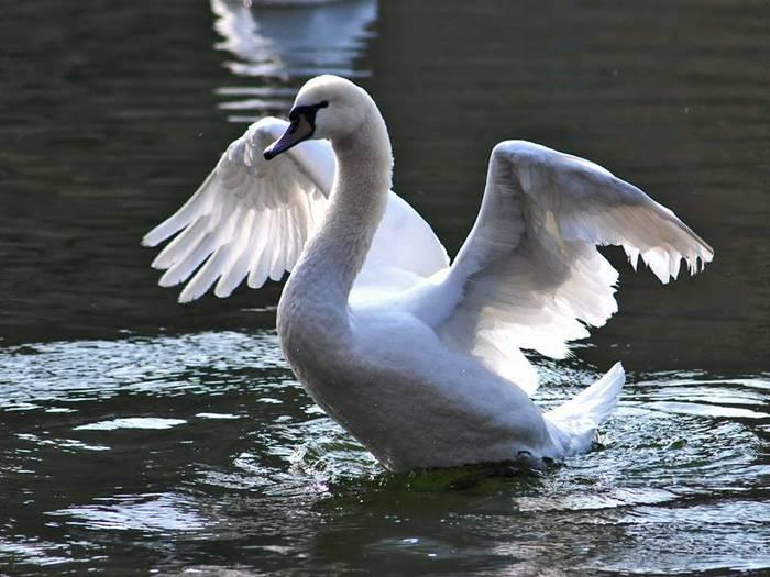 Лебедь на воде взмахивает крыльями