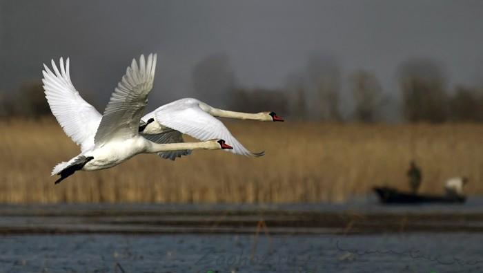 Два лебедя летят над озером