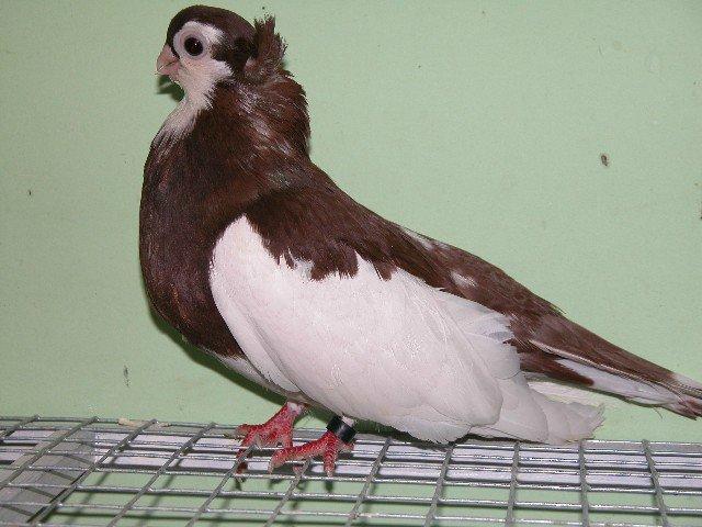 Ленточный Красный голубь турман