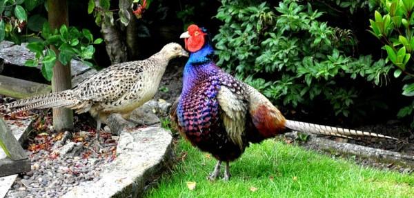 Пара красивых фазанов