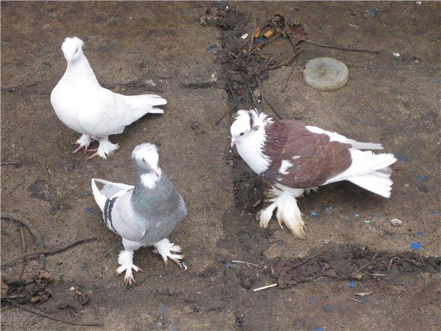 Три Ленинаканских птицы гуляют на улице
