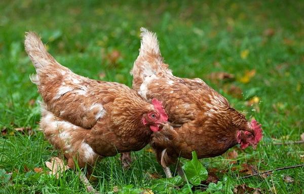 Две курицы кросса Ломан на выгуле