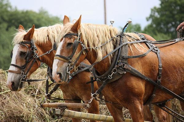 Рабочие кони в упряжи
