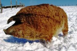 Мангалицкая хрюша зимой