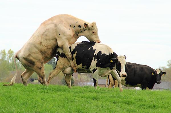 Размножение быков и телок на свободном выгуле