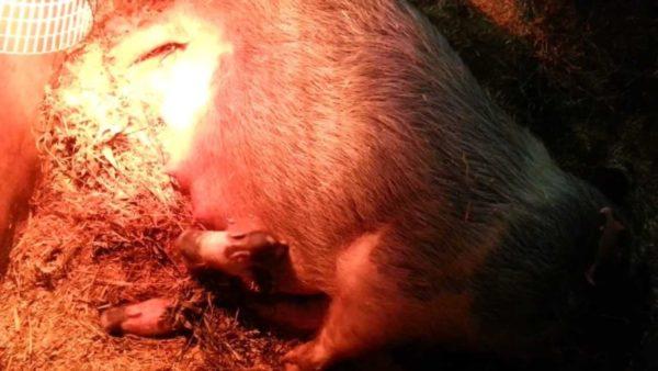 Процесс родов свиньи