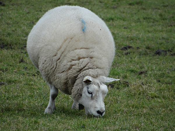 Большая овца пасется на пастбище