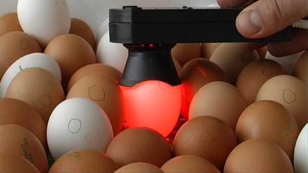Проведение овоскопии яиц в инкубаторе
