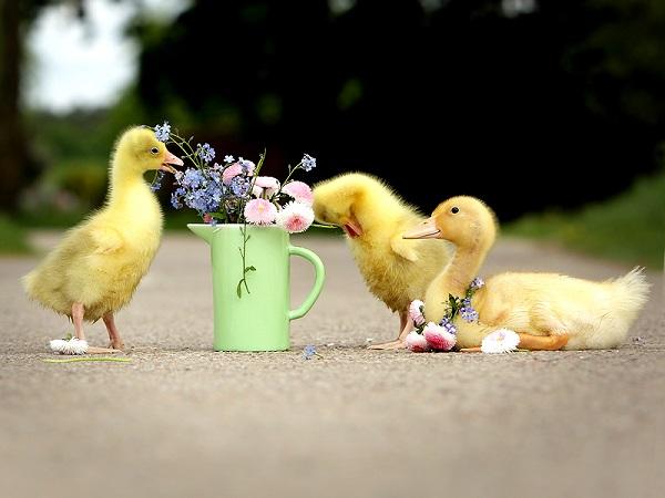 Подросшие птенцы щиплют цветы