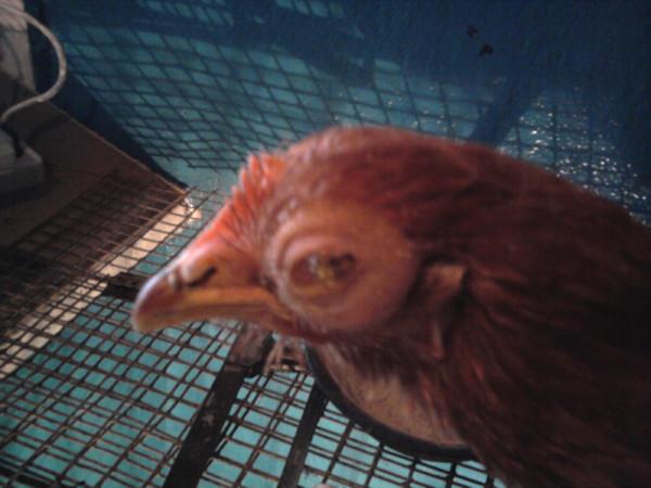 Курица заразившаяся микоплазмозом