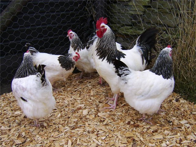 Мини-мясная порода кур