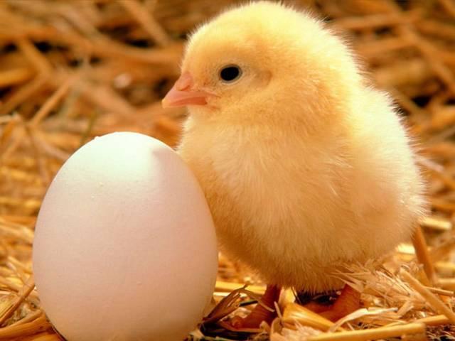 Цыпленок мини-курочки