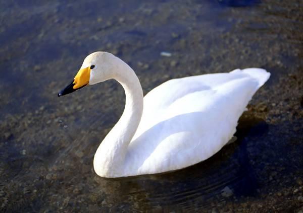 Лебедь Кликун на воде