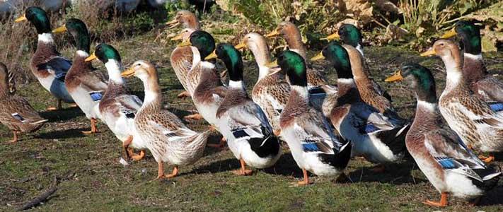 Башкирские утки и селезни идут на прогулку