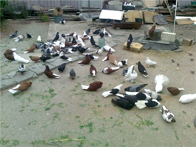 Много голубей в парке