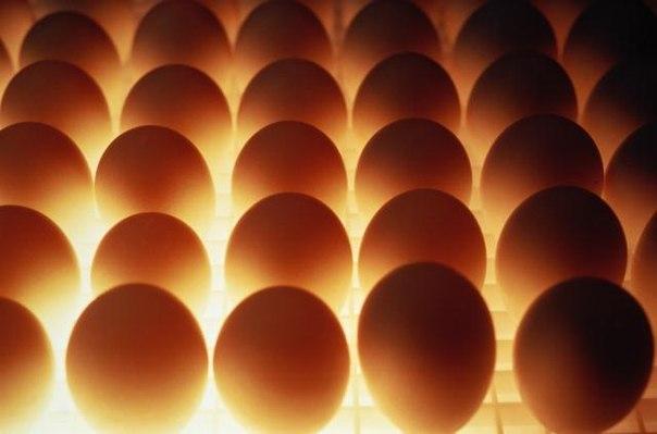 Овоскопирование большого количества яиц