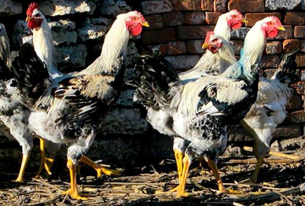 Юрловские голосистые птички на улице