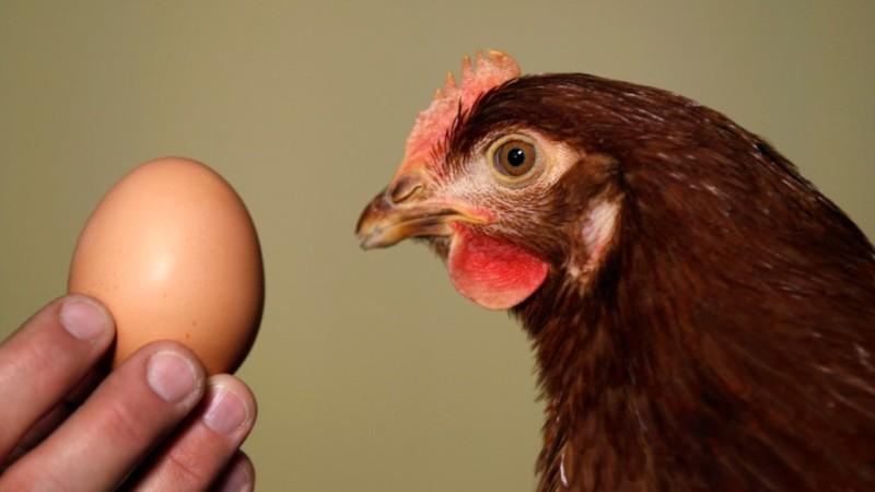 Голова курицы и яйцо в руке человека