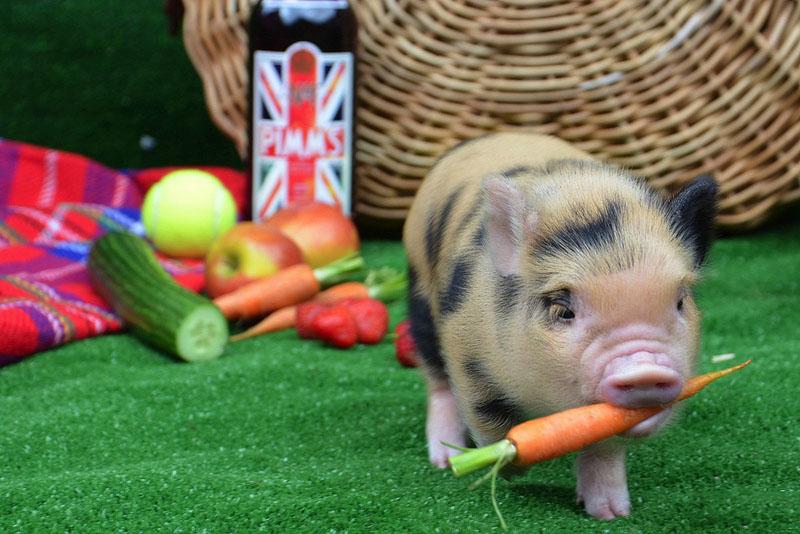 Как выкормить поросят без свиноматки: нормы, рацион поросят, советы