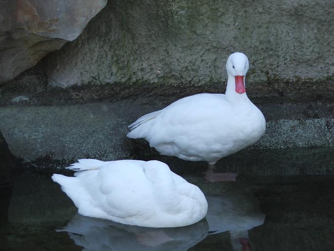 Белые Московские утки возле воды