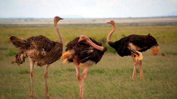 Три Масайских страуса рядом
