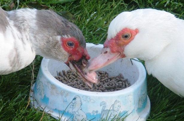 Два шипуна едят из миски