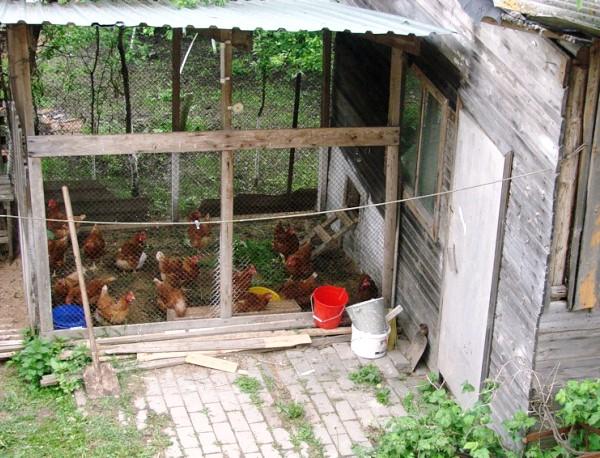 Куры на даче в загоне