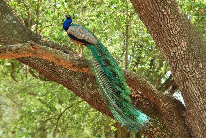 Павлин стоит на ветке дерева