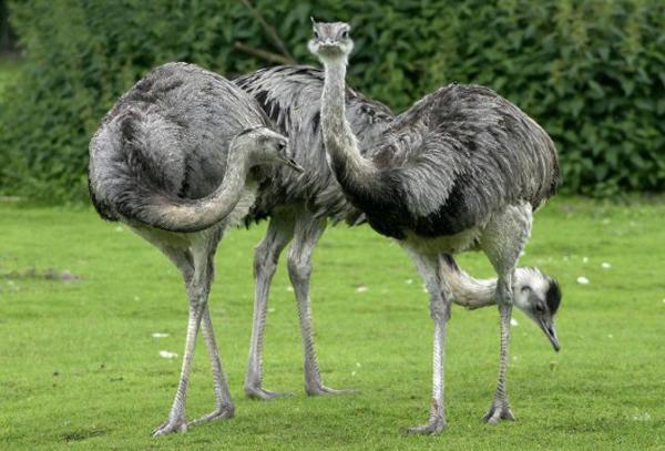Три страуса Нанду