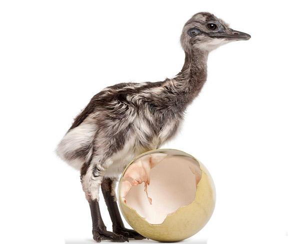 Птенец Нанду рядом с яйцом