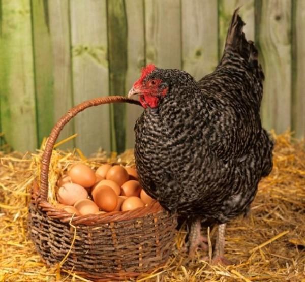 Курица-несушка возле корзинки с яйцами