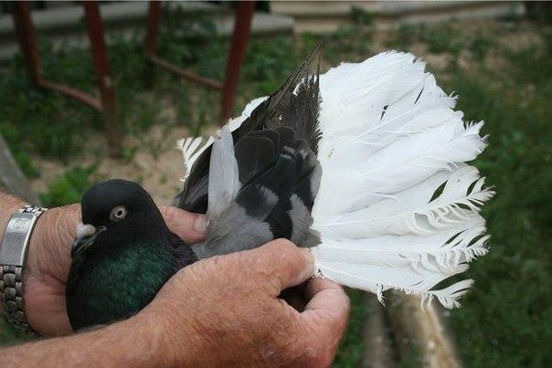 Николаевский сизый белохвостый голубь