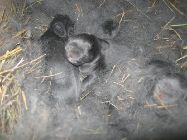 Новорожденные крольчата в гнезде