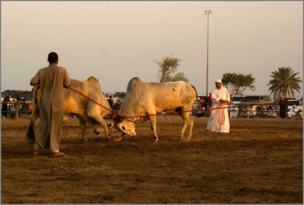 Схватка животных в ОАЭ