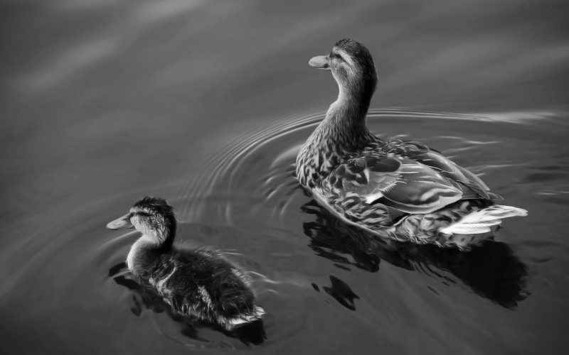 Утка с утенком купаются