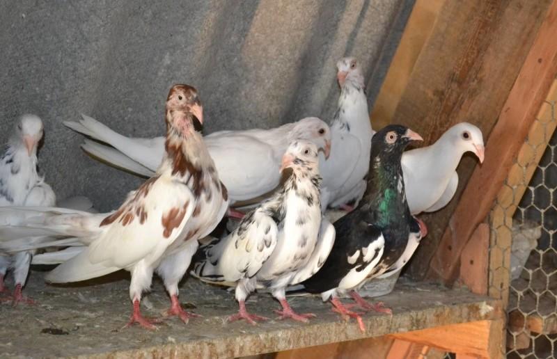 Одесские турманы в голубятне