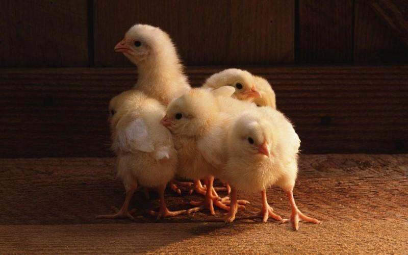 Цыплята жмутся друг к другу