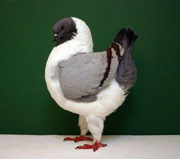 Польский голубь в профиль