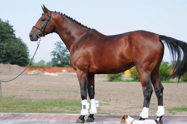Ольденбургская лошадь крупным планом
