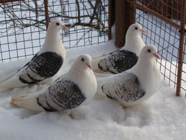 Оловянистые чистые на снегу