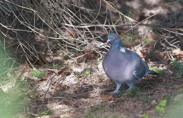 Голубь собирает ветки для строительства гнезда