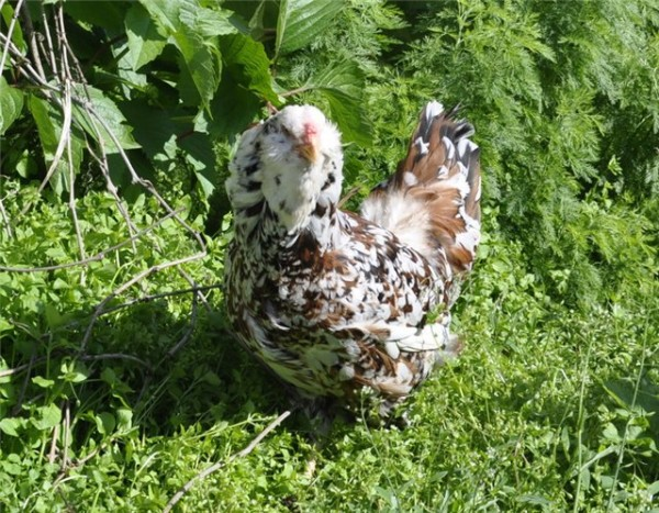Орловская курица на траве