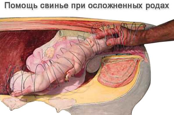 Помощь свинье при осложненных родах