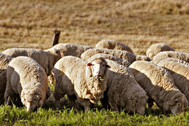 Отара овец на выгуле
