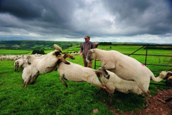 Отара овец с пастухом